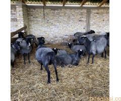 Romanovske ovce i siljegice - Slika 5