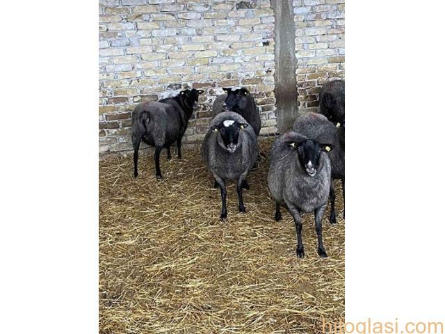 Romanovske ovce i siljegice - 3