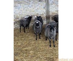 Romanovske ovce i siljegice - Slika 3