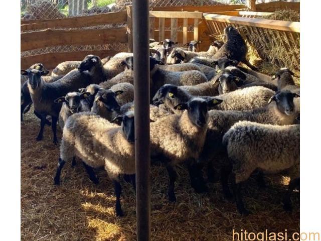 Romanovske ovce i siljegice - 7