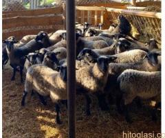 Romanovske ovce i siljegice - Slika 7