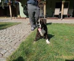 Nemački boxer, žensko štene - Slika 4