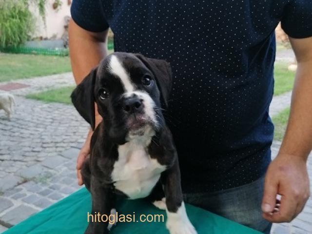 Nemački boxer, žensko štene - 2
