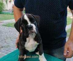 Nemački boxer, žensko štene - Slika 2