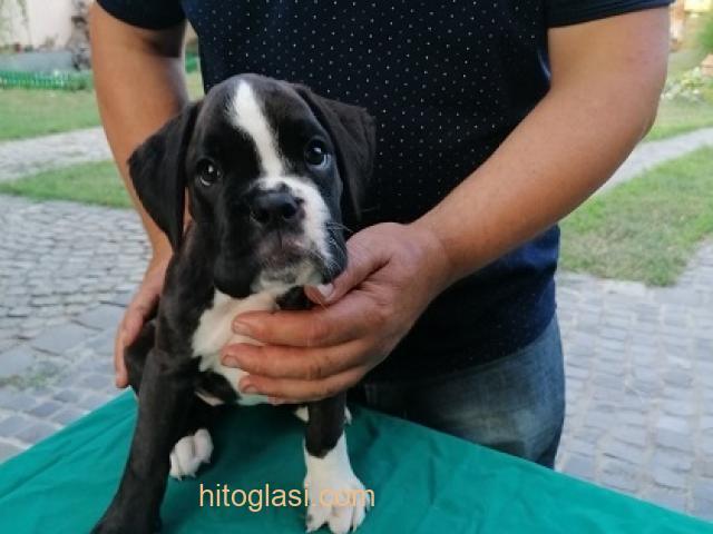 Nemački boxer, žensko štene - 1