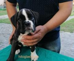 Nemački boxer, žensko štene - Slika 1