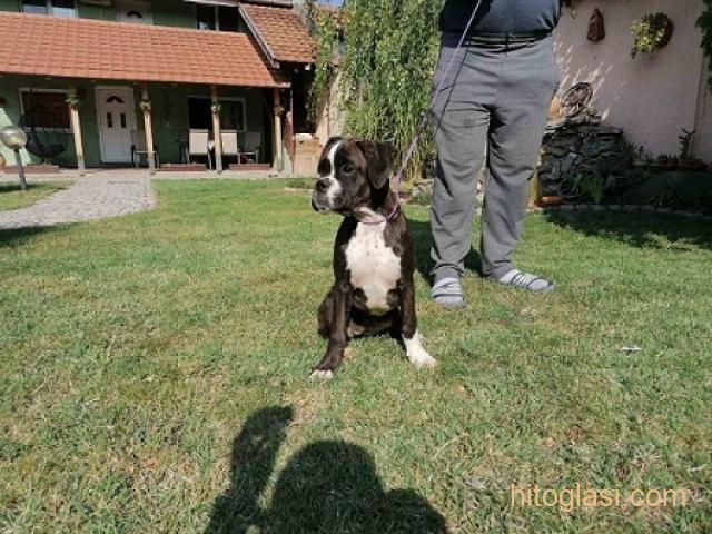 Nemački boxer, žensko štene - 5