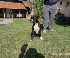 Nemački boxer, žensko štene - Slika 5