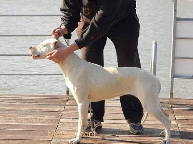 Dogo Argentino, odrasli psi - 2