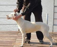 Dogo Argentino, odrasli psi - Slika 2