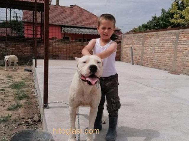 Dogo Argentino, odrasli psi - 4