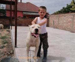Dogo Argentino, odrasli psi - Slika 4