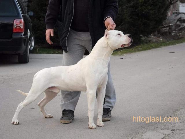 Dogo Argentino, odrasli psi - 7