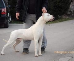 Dogo Argentino, odrasli psi - Slika 7